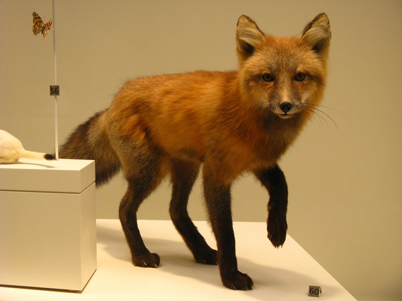 Canadian Fox