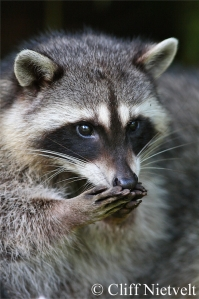Raccoon (Photo by: Cliff Nietvelt Photography)