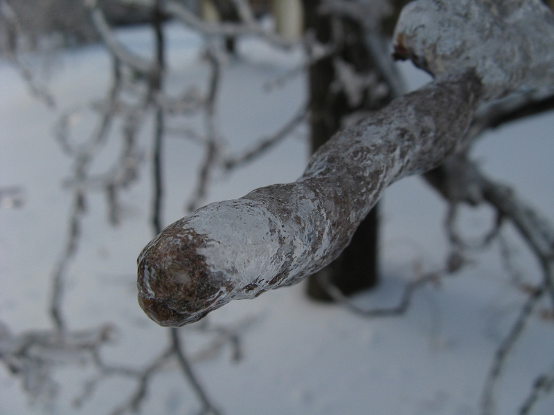 Branch covered in ice
