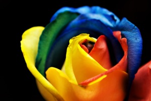 Rainbow Rose [Photo Credit: In compliance with Wikipedia Common Licensing]