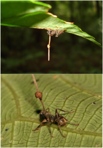 Ophiocordyceps unilateralis [Photo Credit: Used in accordance with the  Creative Commons Attribution 2.5 Generic license]