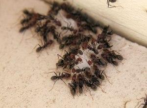 Ants Eating [Photo Credit: Fir0002/Flagstaffotos]