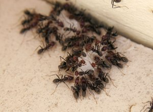 Ants Eating [Photo Credit: Fir0002/Flagstaffotos]