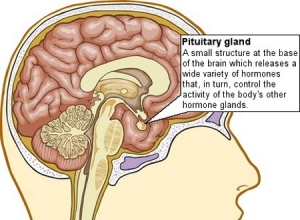 Pituitary Gland.