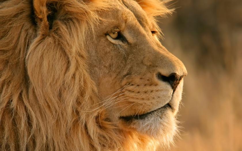 A majestic lion